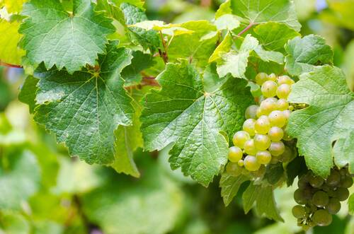 riesling, white wine, grape harvest - Alf an der Mosel