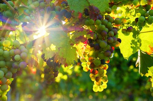 grapes, sun, sunbeam - Alf an der Mosel