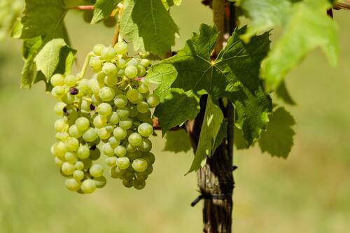 grapes, fruit, vine - Alf an der Mosel